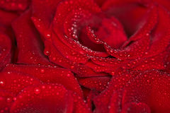 Velvet roses background  with droplets Royalty Free Stock Images