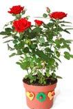 Velvet scarlet rose Stock Images