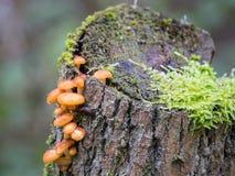 Velvet shank mushroom Stock Images