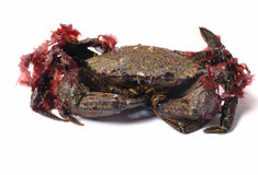 Velvet swimming crab Stock Image