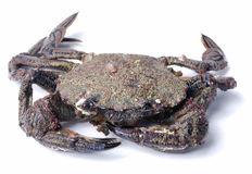 Velvet swimming crab Stock Photos