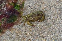 Velvet swimming crab on a beach Stock Image