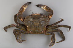 Velvet swimming crab Stock Photo