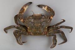 Velvet swimming crab Stock Photo