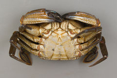 Velvet swimming crab Stock Photography