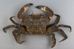 Velvet swimming crab Royalty Free Stock Image