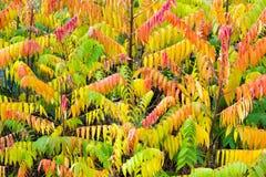 Velvet tree in autumn colors Royalty Free Stock Image