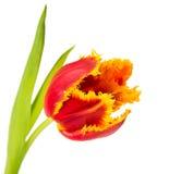 Velvet tulip isolated Stock Image
