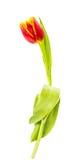 Velvet tulip isolated Stock Images