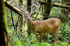 Velvet Whitetail Deer Buck in Cades Cove GSMNP. Velvet Whitetail Deer Buck in Cades Cove in Great Smokey Mountain National Park Royalty Free Stock Photos