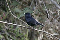 Velvety black-tyrant, Knipolegus nigerrimus Stock Photography