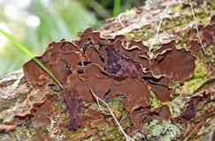 Velvety brown bracket (Trametes) fungi Royalty Free Stock Images