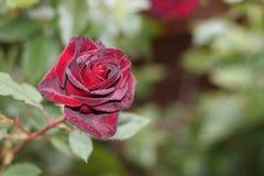 Velvety burgundy rose Royalty Free Stock Image