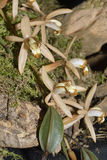 Velvety Coelogyne Orchid Stock Image