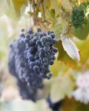 Velvety dark grapes. Ready for harvesting. On shallow DOF natural background Royalty Free Stock Images