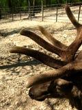Velvety Horns of a deer. On a sandy land Royalty Free Stock Photos