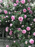 A velvety pink rose bush in a small village in the Ukrainian Countryside has pink roses. A rose is a woody perennial flowering plant of the genus Rosa, in the stock photo