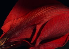Velvety Red Petals Royalty Free Stock Images