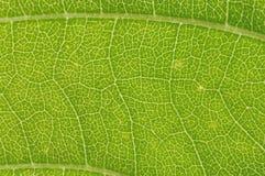 Vena verde Fotografía de archivo libre de regalías