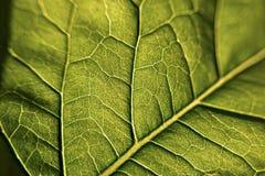 Vena verde del briciolo della foglia, macro e fotografia del primo piano fotografia stock