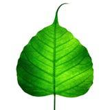 Vena verde del foglio (foglio di bodhi) Fotografia Stock Libera da Diritti