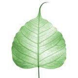 Vena verde del foglio (foglio di bodhi) Immagini Stock Libere da Diritti