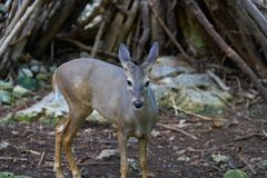 Venado deer in Riviera Maya Mexico. Venado deer in Riviera Maya of Mexico Royalty Free Stock Image