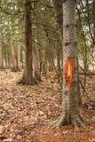 Venados de cola blanca Buck Antler Rub en árbol durante rodera fotos de archivo