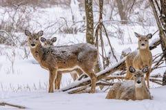 Venados de cola blanca del invierno Fotografía de archivo