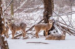 Venados de cola blanca del invierno Imagen de archivo libre de regalías