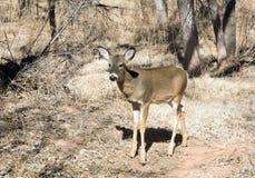 Venados de cola blanca en Palo Duro Canyon State Park, Tejas del cervatillo, Fotos de archivo