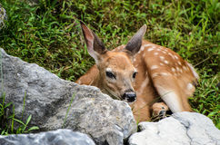 Venados de cola blanca Fawn Looking del bebé en usted Imagen de archivo libre de regalías