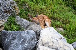 Venados de cola blanca Fawn Resting Behind Boulder del bebé Imagenes de archivo