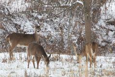 Venados de cola blanca que se colocan en la nieve en el bosque imagen de archivo libre de regalías