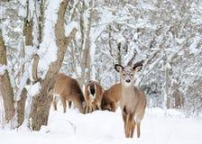 Venados de cola blancas del invierno Fotografía de archivo