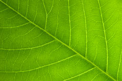 Venas angulosas de la hoja Imagen de archivo libre de regalías