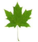 Venas brillantes verdes de la hoja de arce en un fondo blanco Imagen de archivo libre de regalías