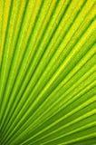 Venas de hoja de palma verde y amarillo Imágenes de archivo libres de regalías