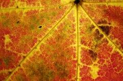 Venas de la hoja del otoño Fotografía de archivo