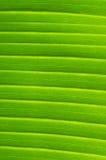Venas de la hoja del plátano Foto de archivo libre de regalías