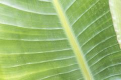 Venas de la planta de un cierre suculento orgánico para arriba imagen de archivo