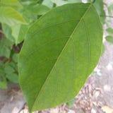 Venas de las hojas Foto de archivo