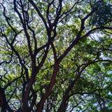 Venas del árbol Imagen de archivo libre de regalías