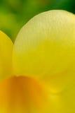 Venas en los pétalos de una flor amarilla Imagen de archivo