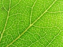 Venas verdes 04 de la hoja Imagen de archivo