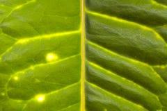 Venas verdes de la hoja Imagen de archivo libre de regalías