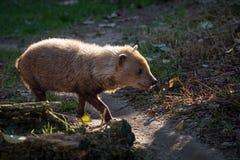 Venaticus Speothos собаки куста canid найденное в централи и Южной Америке стоковое фото