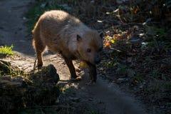 Venaticus Speothos собаки куста canid найденное в централи и Южной Америке стоковые изображения