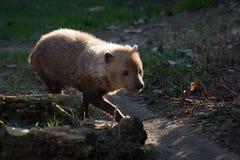 Venaticus Speothos собаки куста canid найденное в централи и Южной Америке стоковая фотография rf