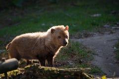 Venaticus Speothos собаки куста canid найденное в централи и Южной Америке стоковое изображение
